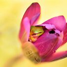 Tiny Frog resting on Petals,Mission Beach FNQ. by Susan Kelly