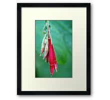 Fuschia flower close up Framed Print