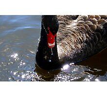 Sparkling Grace! - Black Swan - NZ  Photographic Print