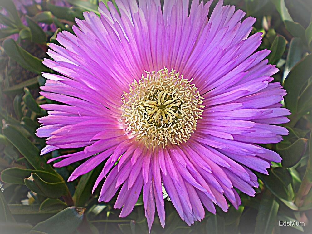 Succulent - Lovely colour  by EdsMum