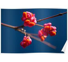 Pink Spindle fruit - Euonymus europaeus Poster