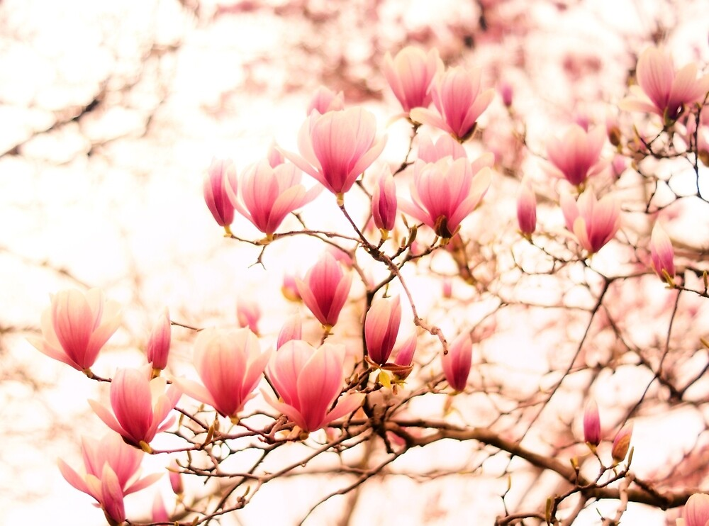 Spring Cherry Blossoms by Vivienne Gucwa