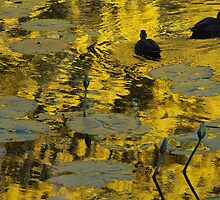 Wattle reflections and two ducks at Yorks Hollow by Igor Makunin