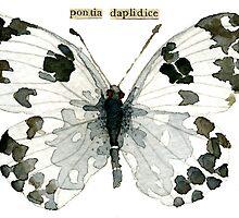 Pontia Daplidice (Bath White Butterfly) by Carol Kroll
