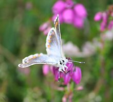 Common Blue Butterfly by YorkshireMonkey