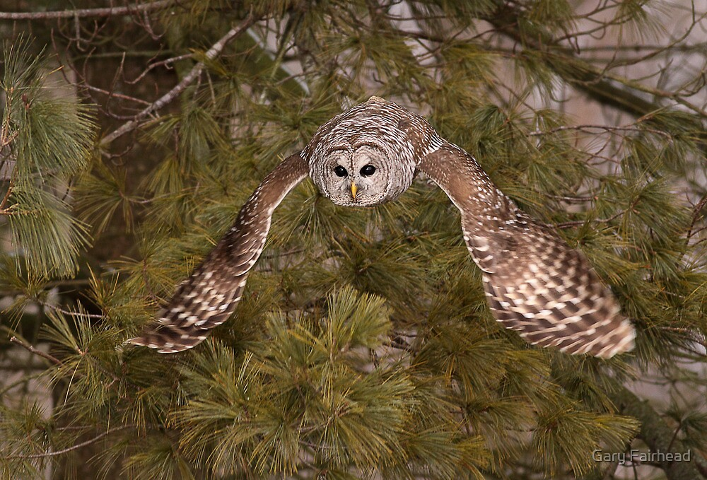 Barred Owl Descent II by Gary Fairhead