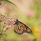 Monarch and Swamp Milkweed 1-2015 by Thomas Young