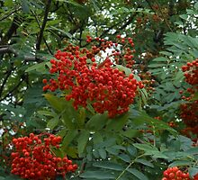 Early Rowan Berries by MidnightMelody