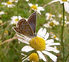 Common blue butterfly (female) by Pauline-W