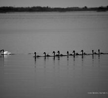 Cygnus Olor - Swan Family | Center Moriches, New York  by © Sophie W. Smith