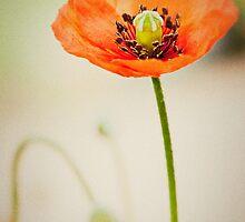 Poppy... by Malcolm Garth