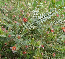 Darwinia Citriodora, ( Lemon scented myrtle) by Rita Blom