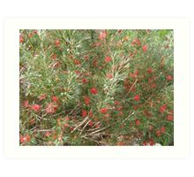 Winpara Gem Grevillea, south Australia. Art Print