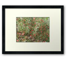 Winpara Gem Grevillea, south Australia. Framed Print