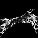 Giraffe Kiss by KatsEyePhoto