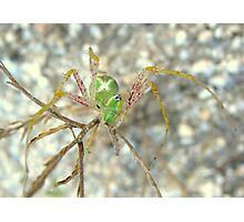 Green Lynx Spider Photographic Print