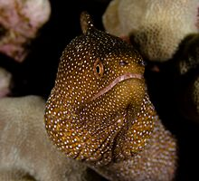 Whitemouth Moray Eel by Todd Krebs