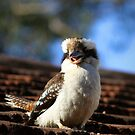 Have-a-Chat Kookaburra by annadavies