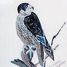 Pelegrine Falcon - bird of prey - Australia by Margaret Morgan (Watkins)