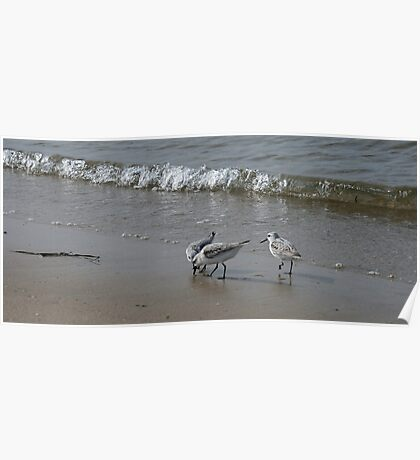 Piping Plovers III Poster