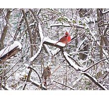 cardinals, snow, trees Photographic Print