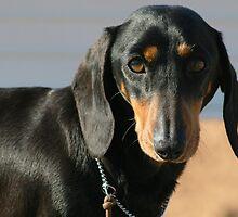 Gorgeous black and tan dachshund - Betty by Joanne Emery