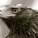 Wedged Tail Eagle  by Michelle Crouch