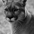 Cougar  by Michelle Crouch
