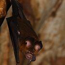 Roundleaf Bat by naturalnomad
