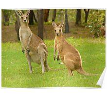 visiting kangaroos Poster