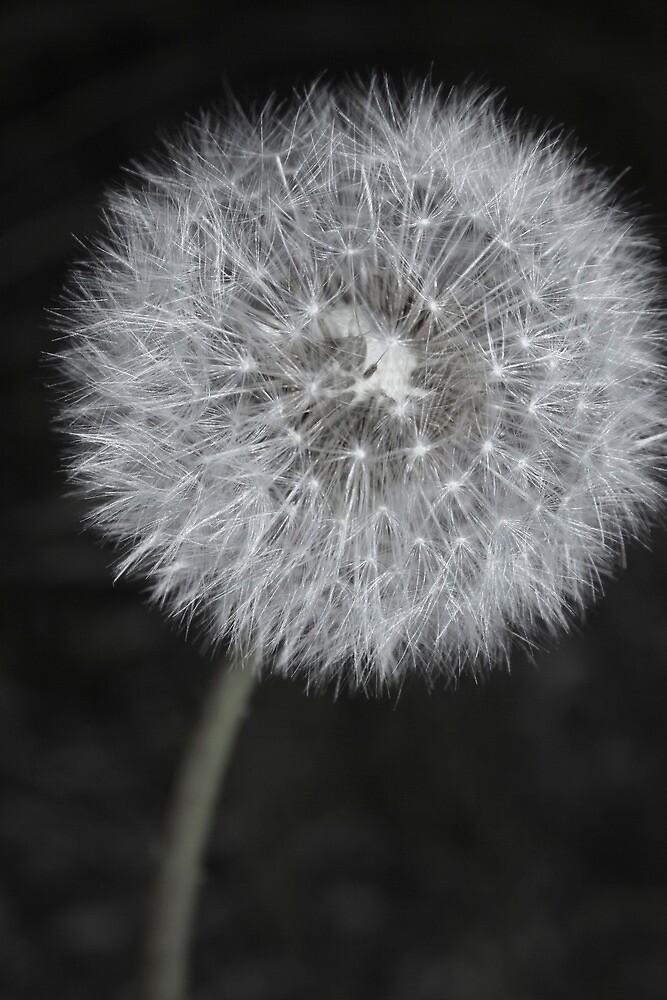 Dandelion fluff 2 by Oceanna Solloway