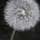 Dandelion fluff 2 by Oceanna Solloway