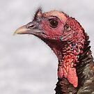 Wild Turkey Profile by naturalnomad