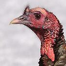 Wild Turkey Profile by naturalnomad