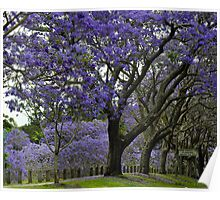 jacarandas in bloom Poster