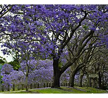jacarandas in bloom Photographic Print