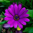 Purple Aster by Sue Ratcliffe