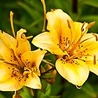 Yellow Lilies by Sue Ratcliffe