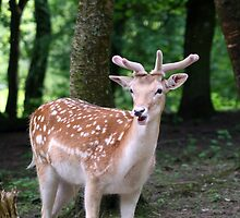 Deer in the woods by Joanne Emery