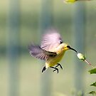 Dinner on the run - sunbird feeding by Jenny Dean