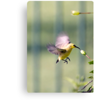 Dinner on the run - sunbird feeding Canvas Print