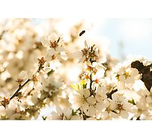 Blossoms and a bee Photographic Print