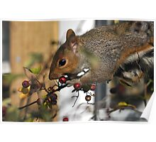 grey squirrel caught in the act Poster