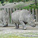 Endangered White Rhinoceroses  At The Orana Wildlife Park. Christchurch, South Island, New Zealand. by Ralph de Zilva