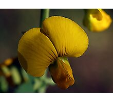 Florida Wild Flower -- Rattle-Box Photographic Print