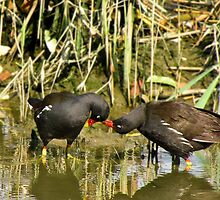 the sweetness and love of a pair of moorhens by alicara