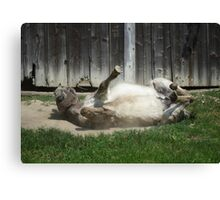 Dust Bathing Donkey Canvas Print