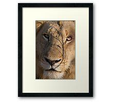 Majingilane - Male Lion - Close Up ! Framed Print