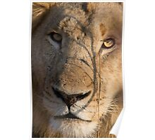 Majingilane - Male Lion - Close Up ! Poster