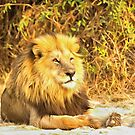 Magnificent Lion at Rest by Graham Prentice